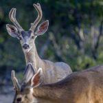 Idyllwild Deer