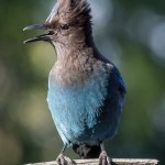 A steller jay lets us know it's time for breakfast.