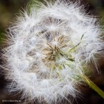 Close-up of dandelion.