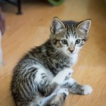 Young male kitten up for adoption at ARF in Idyllwild, CA.