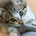 He likes my tennis shoe. Young male kitten up for adoption at ARF in Idyllwild, CA.
