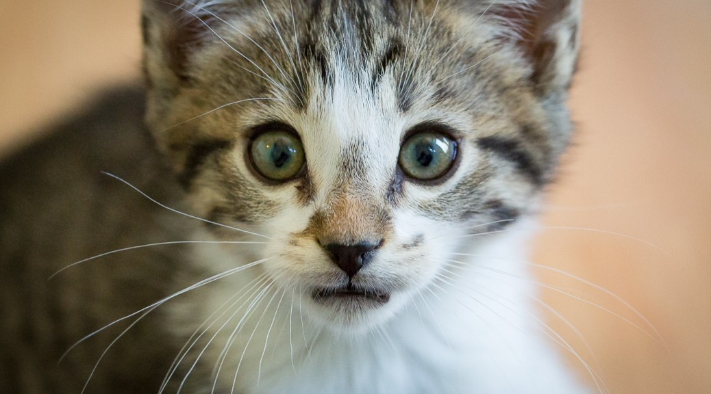 What a face! Young male kitten up for adoption at ARF in Idyllwild, CA.
