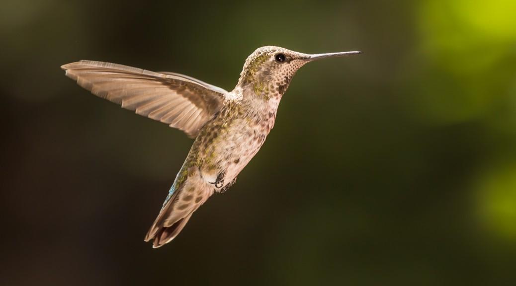 Idyllwil Hummingbird