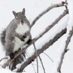 Idyllwild Gray Squirrel