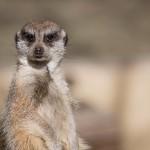 I love meerkats!